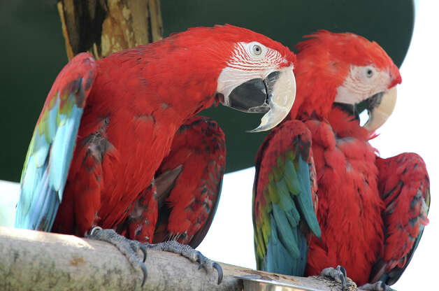 A pair of Macaw at Ashville Game Farm and Exotic Zoo on Tuesday, July 24, 2012 in Greenwich, N.Y. (Lori Van Buren / Times Union) Photo: Lori Van Buren