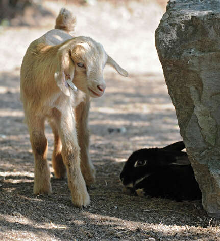 A baby goat checks out a rabbit sitting under a rock at Ashville Game Farm and Exotic Zoo on Tuesday, July 24, 2012 in Greenwich, N.Y. (Lori Van Buren / Times Union) Photo: Lori Van Buren