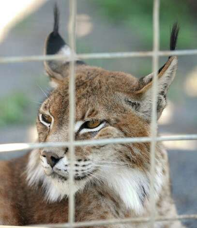 A Lynx at Ashville Game Farm and Exotic Zoo on Tuesday, July 24, 2012 in Greenwich, N.Y. (Lori Van Buren / Times Union) Photo: Lori Van Buren