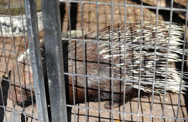 An African Crested Porcupine at Ashville Game Farm and Exotic Zoo on Tuesday, July 24, 2012 in Greenwich, N.Y. (Lori Van Buren / Times Union) Photo: Lori Van Buren