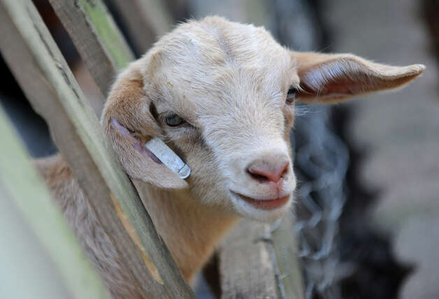 A baby goat sticks his head through a fence at Ashville Game Farm and Exotic Zoo on Tuesday, July 24, 2012 in Greenwich, N.Y. (Lori Van Buren / Times Union) Photo: Lori Van Buren