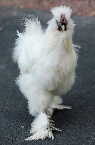 Chickens like this Silkie walk around freely at Ashville Game Farm and Exotic Zoo on Tuesday, July 24, 2012 in Greenwich, N.Y. (Lori Van Buren / Times Union) Photo: Lori Van Buren