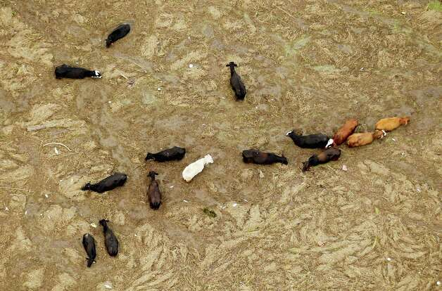 Cattle are stuck in a mixture of mud debris washed in by Hurricane Isaac's storm surge on August 31, 2012 in Plaquemines Parish, Louisiana. Officials are attempting to conduct a cattle roundup in Plaquemines in an attempt to save around 200 cattle stranded by the storm. Photo: Mario Tama, Getty Images / 2012 Getty Images