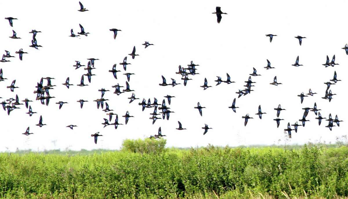 A flock of blue-winged teal flies over a Texas coastal wetland. (For more photos of coastal wetlands, scroll through the gallery.)