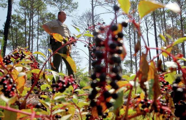 Roger Dolle, Bastrop State Park site manager, stands Monday Aug 20, 2012 in a fire-damaged portion of Bastrop State Park. The one year anniversary of the Bastrop Fire Complex fire that burned much of Bastrop State Park and the so-called Lost Pines area of central Texas is Sept. 4. Photo: William Luther, San Antonio Express-News / © 2012 San Antonio Express-News