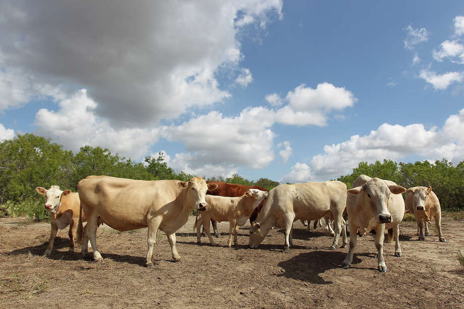 The nation's Jan. 1 inventory of all cattle and calves totaled 89.3 million head. The figure is down 2 percent from 90.8 million a year ago, despite increasing demand for beef. Photo: Kin Man Hui, SAN ANTONIO EXPRESS-NEWS / ©2012 San Antonio Express-News