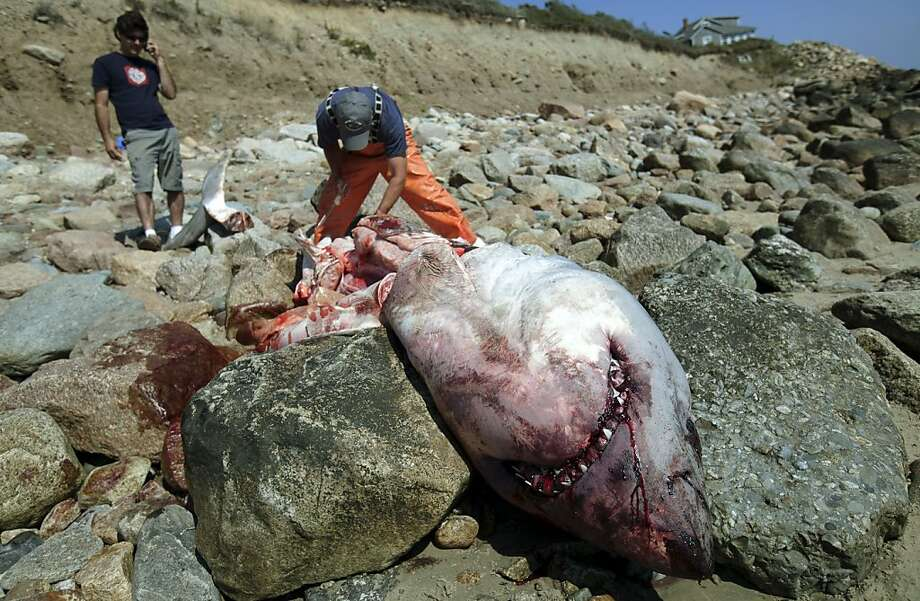 Researchers investigate the carcass of a great white shark that washed up in Westport, Mass., just over the state line from Little Compton, R.I., Saturday Sept. 1, 2012. A Massachusetts marine biologist who examined a 13-foot great white shark carcass found ashore near the Rhode Island state line wasn't able to determine how the shark died, state officials said Sunday. State biologist Greg Skomal performed a necropsy on the 1,500-pound male shark Saturday and found no signs of trauma. (AP Photo/Courtney Sacco) Photo: Courtney Sacco, Associated Press