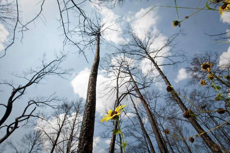 Texas Parks and Wildlife says it has spread grass seed into the burned-out woodlands at Bastrop State Park to ease erosion and help the great pine forest heal itself after last year's fires that consumed thousands of acres. Photo: Nick De La Torre / © 2012  Houston Chronicle