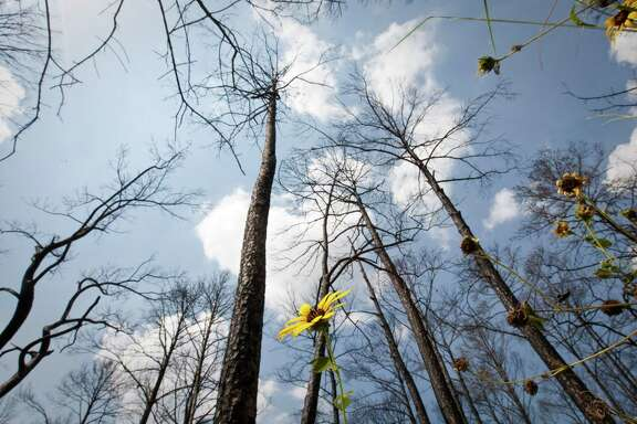 Texas Parks and Wildlife says it has spread grass seed into the burned-out woodlands at Bastrop State Park to ease erosion and help the great pine forest heal itself after last year's fires that consumed thousands of acres.