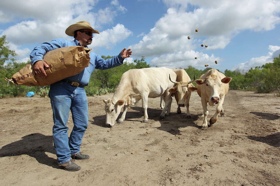 Daylon Maddox tosses out cattle feed to his livestock near Christiney. The drought has taken its toll on the land and has forced ranchers like Maddox to have to use supplements since grass and other vegetation have become scarce. Photo: Kin Man Hui / ©2012 San Antonio Express-News