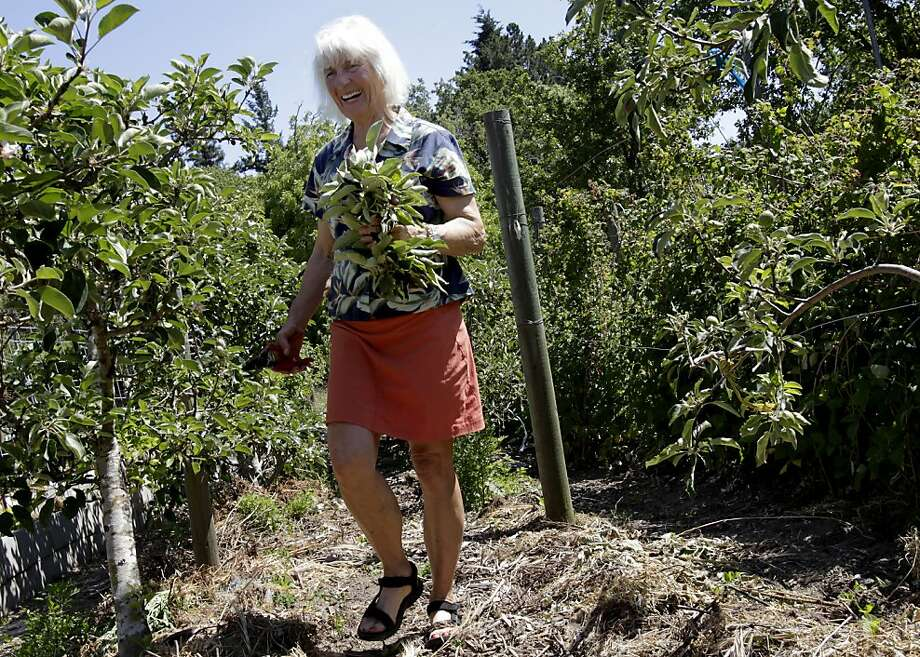 Landscape designer Maile Arnold walks past her espaliered trees in Sebastopol after working on summer pruning. Espalier is a centuries-old European technique. Photo: Brant Ward, The Chronicle