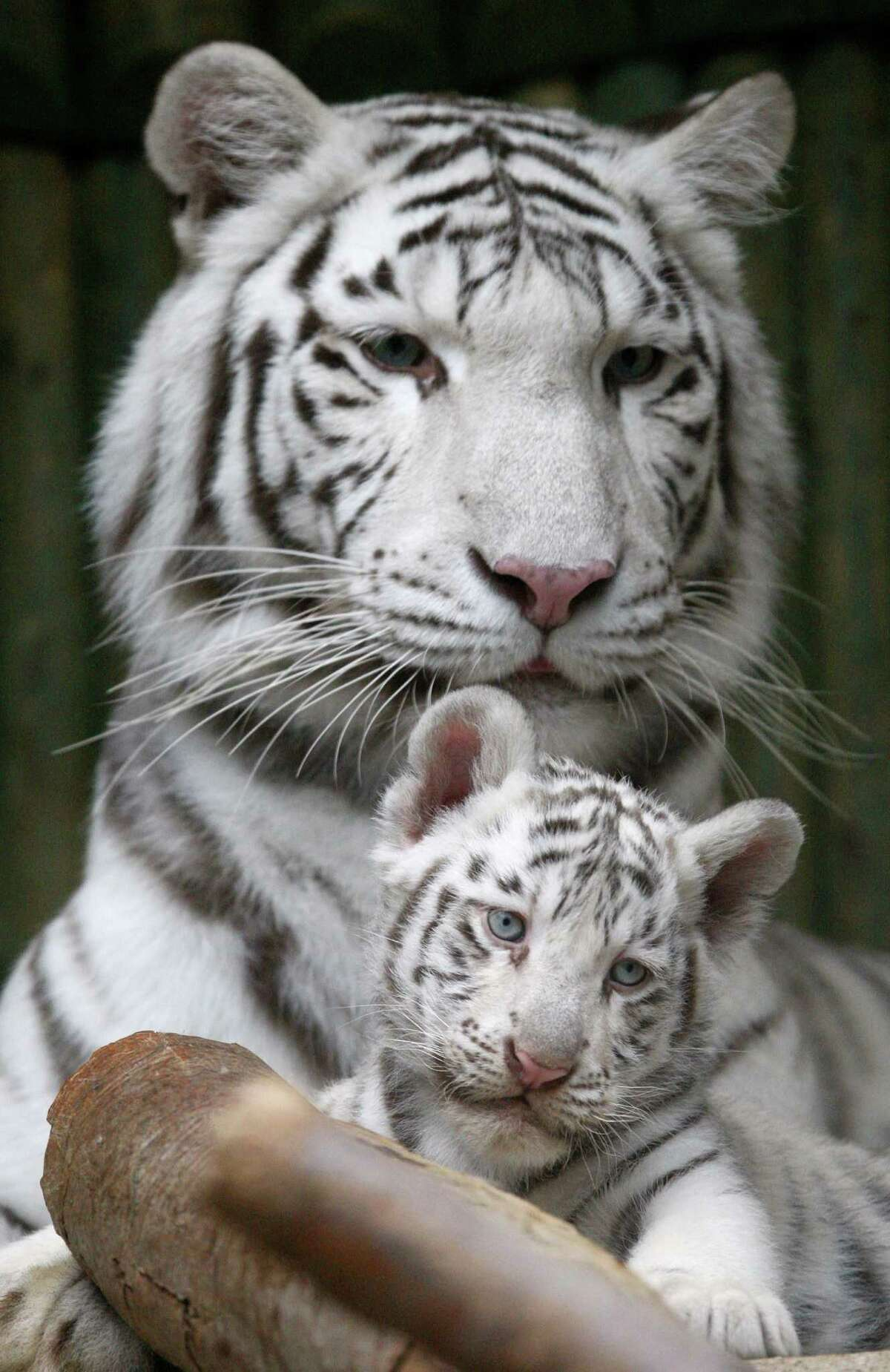 A rare white Indian tiger cub sits with its mother Surya Bara at a zoo in the city of Liberec, Czech Republic, Monday, Sept. 3, 2012. It's one of triplets that were born in July.
