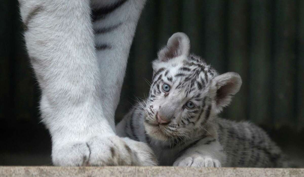 A rare white Indian tiger cub sits at the feet of its mother Surya Bara at a zoo in the city of Liberec, Czech Republic, Monday, Sept. 3, 2012. It's one of triplets that were born in July.