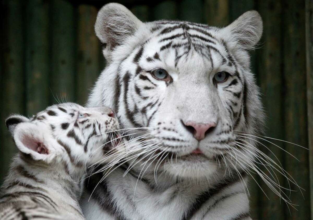 A rare white Indian tiger cub plays with its mother Surya Bara at a zoo in the city of Liberec, Czech Republic, Monday, Sept. 3, 2012. It's one of triplets that were born in July.