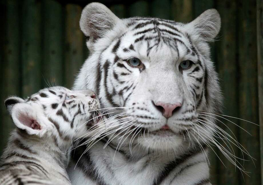 A rare white Indian tiger cub plays with its mother Surya Bara at a zoo in the city of Liberec, Czech Republic, Monday, Sept. 3, 2012. It's one of triplets that were born in July. Photo: Petr David Josek, AP / AP