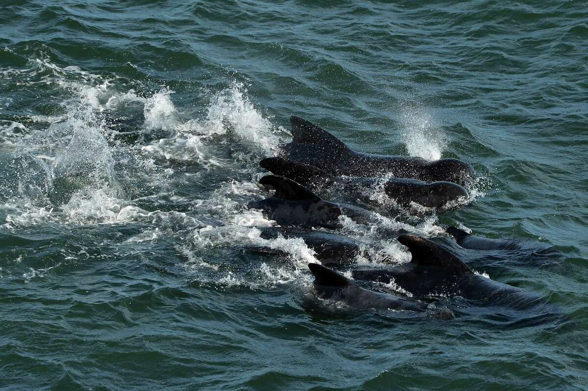PITTENWEEM, SCOTLAND - SEPTEMBER 02: Emergency services attempt to rescue a large number of pilot whales who have beached on September 2, 2012 in Pittenweem near St Andrews, Scotland. A number of whales have died after being stranded on the east coast of Scotland between Anstruther and Pittenweem.
