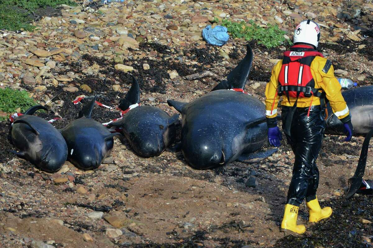 PITTENWEEM, SCOTLAND - SEPTEMBER 02: Emergency service personnel walk near beached whales as they continue in their rescue attempt to save a large number of pilot whales who have beached on September 1, 2012 in Pittenweem, Scotland. A number of whales have died after being stranded on the east coast of Scotland between Anstruther and Pittenweem.
