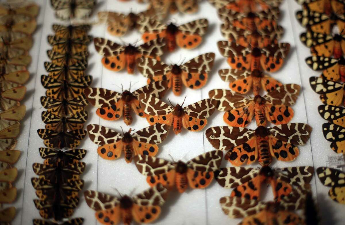 A tray of preserved butterflies is displayed at The Grant Museum of Zoology.