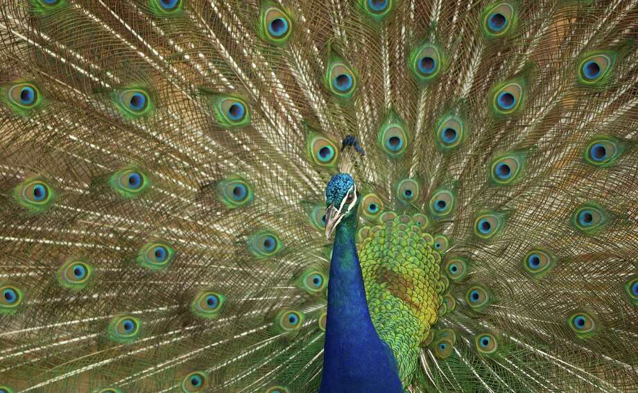 Peacocks are known for their displays of exotic plumage, but in Grey Forest, where the roaming birds are unclaimed, they are also occasionally known as pests. Because a photographer could not locate the birds by by press deadline, this is a wire photo. Photo: J Pat Carter, Associated Press / AP