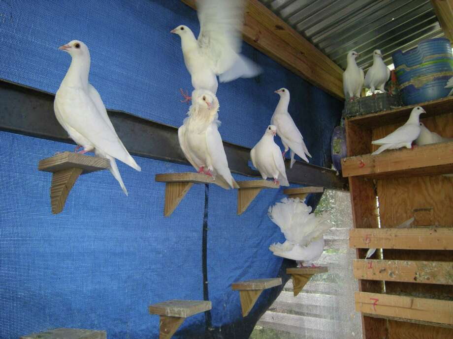 White doves flutter about on roosts at Earth Angels White Dove Release. Photo: Wanda Thomas Littles / For The N