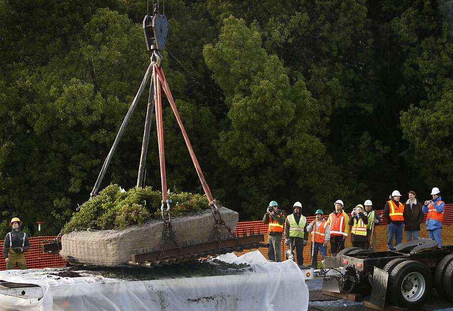 The last Franciscan manzanita, in 2010, is placed onto a truck at the Presidio, where it was discovered, to be replanted away from Doyle Drive construction. Photo: Paul Chinn, The Chronicle