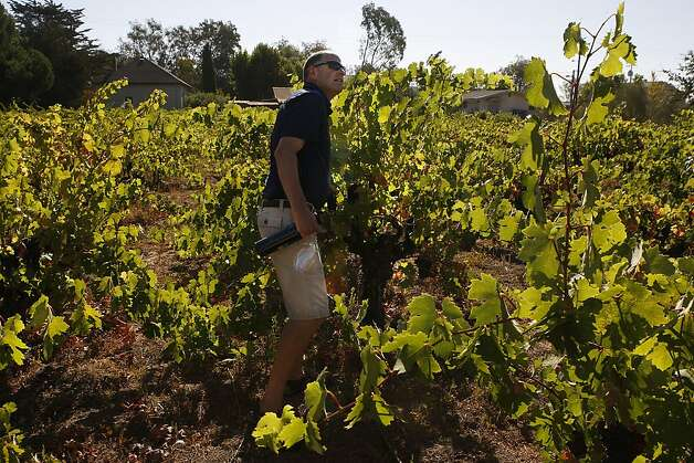 Steve Hall, winemaker at Robert Biale, tastes old-vine Zinfandel grapes in Sonoma's Valsecchi Vineyard. Photo: Liz Hafalia, The Chronicle