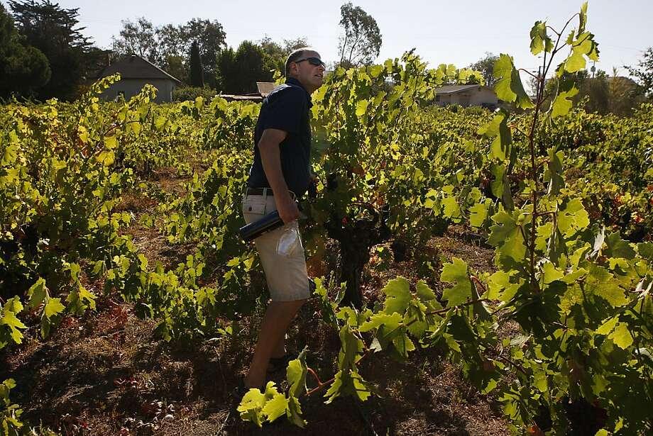 Steve Hall, winemaker at Robert Biale, tastes old-vine Zinfandel grapes in Sonoma's Valsecchi Vineyard. Photo: Liz Hafalia, The Chronicle