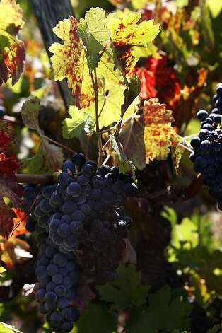 Zinfandel vines at the Valsecchi Vineyard in Vineburg, Calif., on Thursday, August  30, 2012.  Robert Biale produces from the pre-1950's section of the one acre vineyard today. Photo: Liz Hafalia, The Chronicle