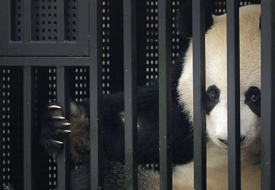 Tell it to the judge:I'm innocent, I tell ya! I'm not wearing a burglar's mask - it's my natural coloration. You've got the wrong bear! (Kai Kai is undergoing quarantine before relocating to Wildlife Reserves Singapore.) Photo: Wong Maye-E, Associated Press