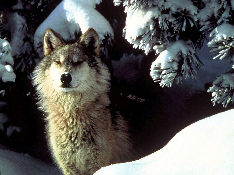 Alaskan wolves may get more protection from a petition seeking to limit hunting and trapping. Photo: Anonymous, ASSOCIATED PRESS