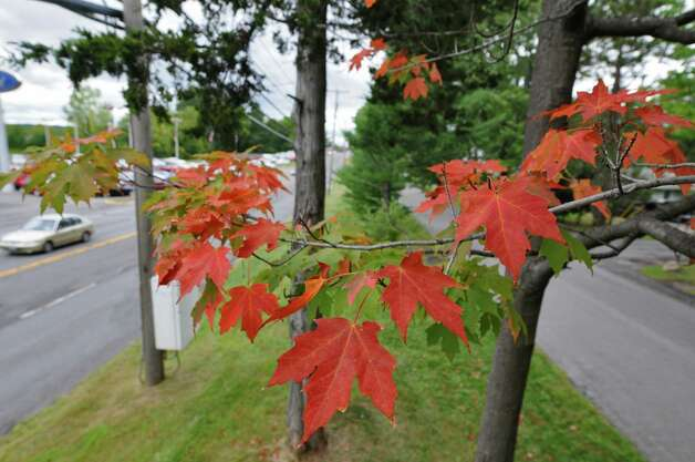 Leaves are changing colors on a tree along Columbia Turnpike (Route 9 and 20) on Wednesday Sept. 5, 2012 in East Greenbush, NY.   (Philip Kamrass / Times Union) Photo: Philip Kamrass / 00019138A