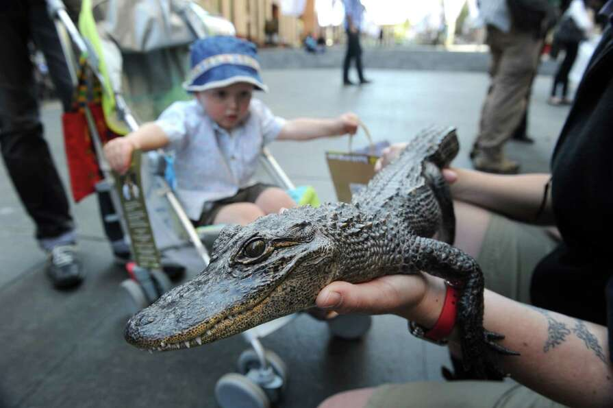 A child looks at a young American alligator displayed by wildlife personnel at Martin Place public s