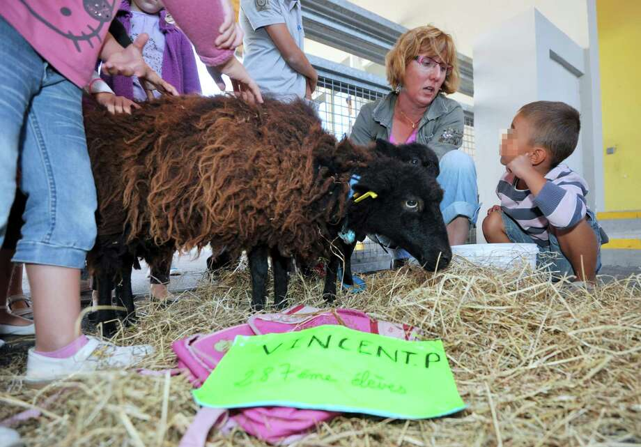 "Pupils and a mother pet a black sheep of Ouessant and its mother, and named after French Education Minister Vincent Peillon as ""Vincent P."", and symbolically registered as the school's 287th pupil, on Friday at the Jules Simon primary school, in Saint-Nazaire, western France, while parents are occupying the school to protest against the local academic authorities to close the school's 12th classroom due to only one pupil missing in the school's overall amount of pupils.        (Photo credit should read FRANK PERRY/AFP/GettyImages) Photo: FRANK PERRY, Ap/getty / 2012 AFP"