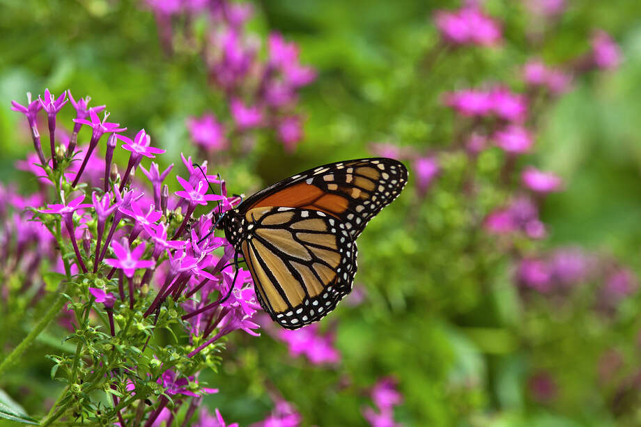 Monarch butterflies are headed south on their annual migration.  Watch for them in area parks, gardens and fields. Photo: Kathy Adams Clark / Kathy Adams Clark/KAC Productions