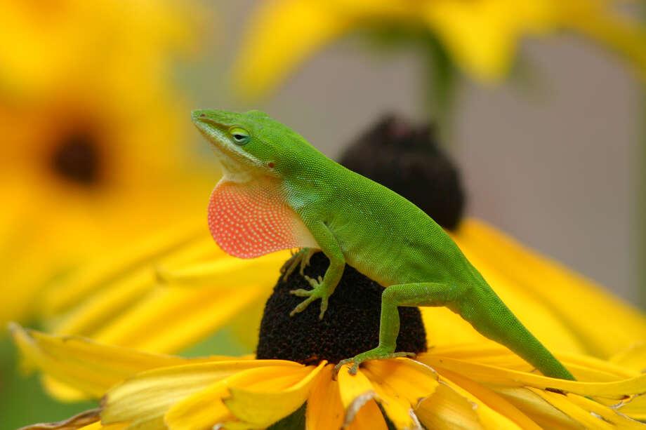 A green anole lizard perches on a black-eyed Susan bloom. Photo: Kathy Adams Clark / Freelance