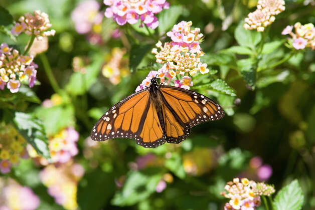 Monarch butterflies are headed south on their annual migration.  Watch for them in area parks, gardens and fields. Photo: Kathy Adams Clark / Kathy Adams Clark/KAC Productions,