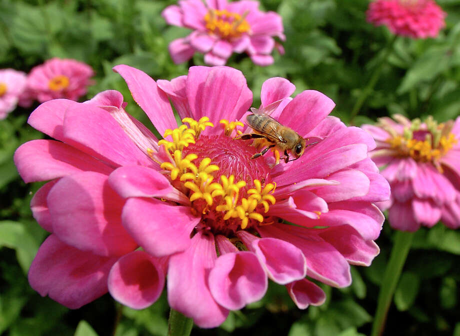 A bee lights on a zinnia. Photo: GLORIA FERNIZ, STAFF / SAN ANTONIO EXPRESS-NEWS