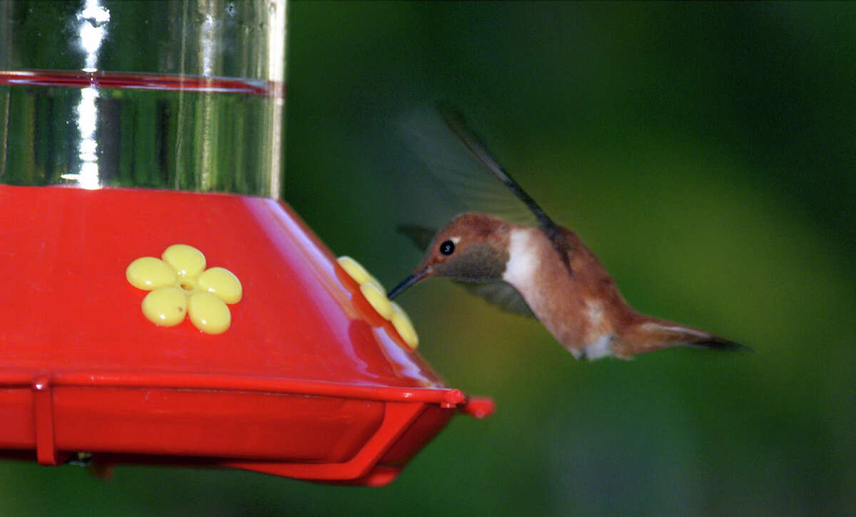 A rufous hummingbird swoops in to sip sugar water from a Perky-Pet feeder.