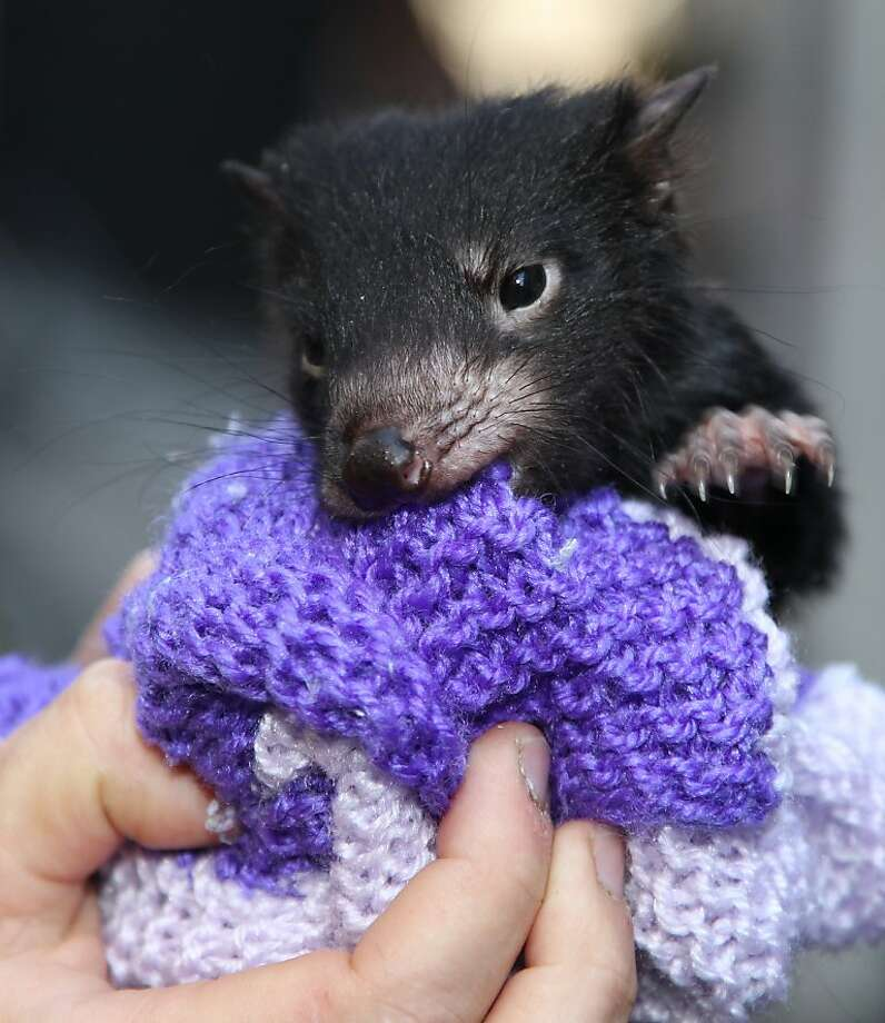 Knit fit:Everybody was having a lovely time at the crocheting bee when suddenly the Tasmania devil came out of nowhere and attacked Mrs. Flurby's tea cozy. (Technically he's a Tasmanian devil cub , and he  was appearing at a National Endangered Species Day event in Sydney.) Photo: Rob Griffith, Associated Press