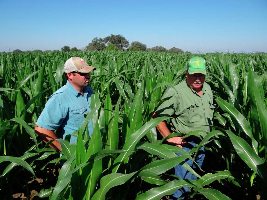 Bill Slomchinski and his son  Brett, walk through their corn field in Poteet on Friday, Sept. 7, 2012. Photo: Billy Calzada, San Antonio Express News / San Antonio Express News