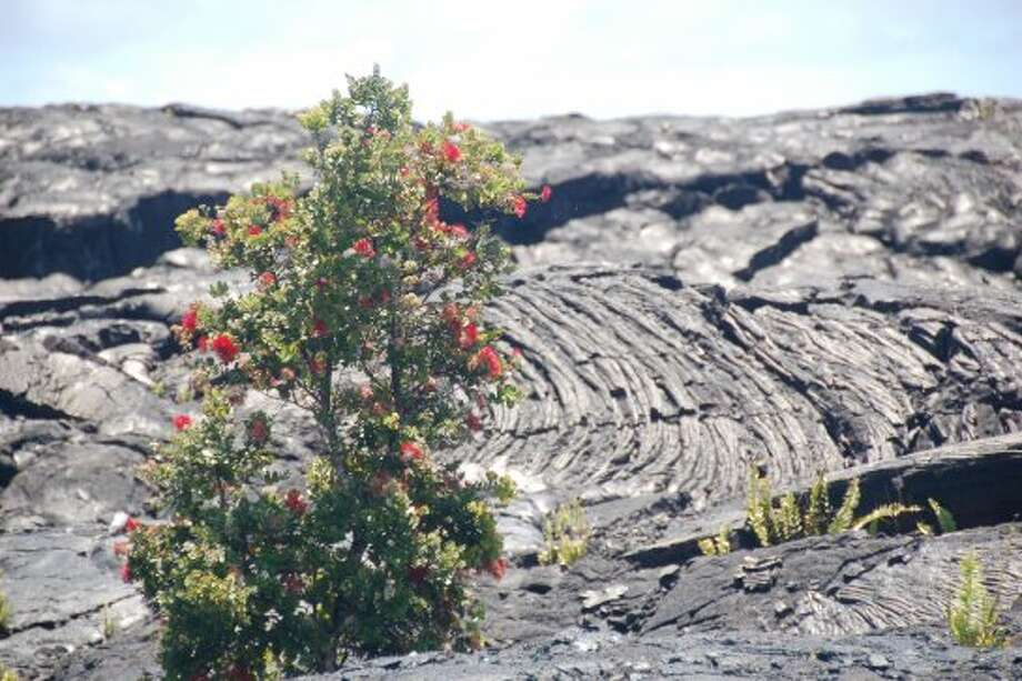An ohia lehua tree -- a potent symbol of life amid destruction -- grows in the lava field at Kalapana. (© Jeanne Cooper)