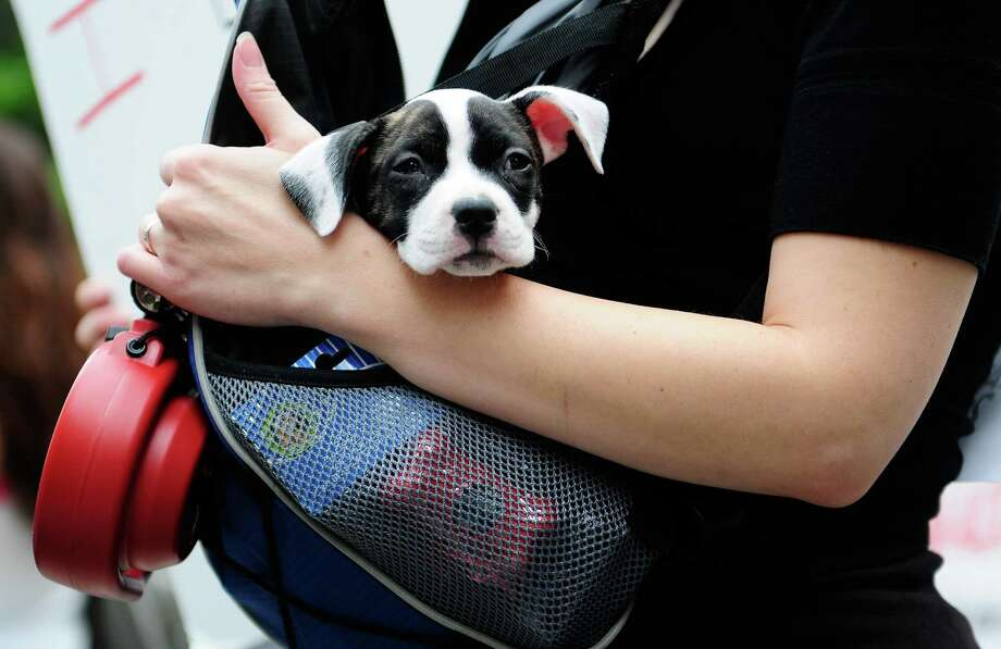 Chloe Belle, a 2-month-old pit bull, watches the march from a sling bag. Photo: LINDSEY WASSON / SEATTLEPI.COM
