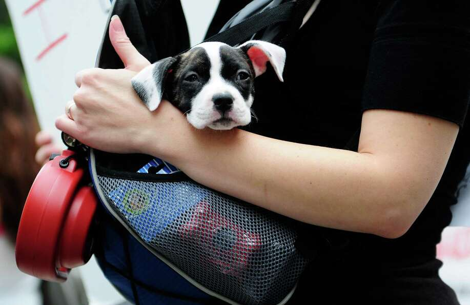 Chloe Belle, a 2-month-old pit bull, watches the march from a sling bag.