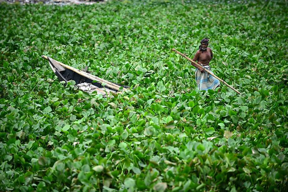 A Bangladeshi boat man looks on as he attempts to make his way through water hyacinth on the Buriganga river in Dhaka on September 10, 2012. Water hyacinth has hampered the movement of boats on the river. AFP PHOTO/Munir uz ZAMANMUNIR UZ ZAMAN/AFP/GettyImages Photo: Munir Uz Zaman, AFP/Getty Images