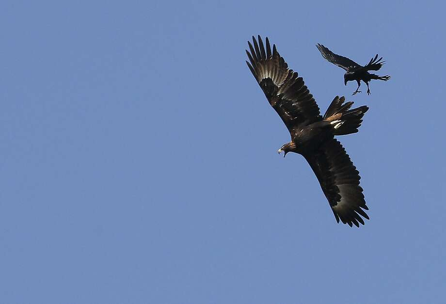 A Wedge-tail eagle and a crow fight in the sky above Gunnedah, Australia,  Monday, Sept. 10, 2012.(AP Photo/Rob Griffith) Photo: Rob Griffith, Associated Press