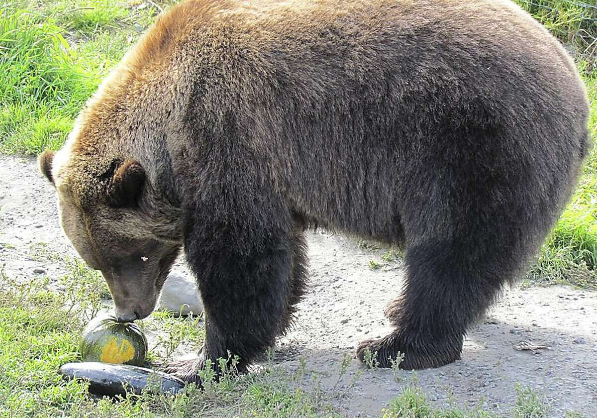 Gourd by a bear: A brown bear sniffs a squash before devouring it in Portage, Alaska. Bears, moose, elk and bison at the Alaska Wildlife Conservation Center were served oversized cabbages, turnips, radishes and other veggies from the Alaska State Fair. The big vegetables were deemed too tough for human consumption, but the animals don't seem to mind.