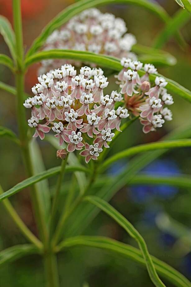 Red Butterfly Milkweed Asclepias Curassavica Red: Milkweed A Monarch Butterfly Fave