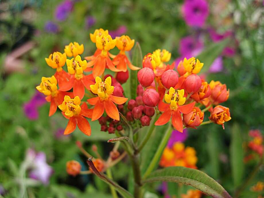 Asclepias curassavica, or milkweed, features star-shaped flowers from red, above, to pale pink, below. Photo: Annie's Annuals & Perennials