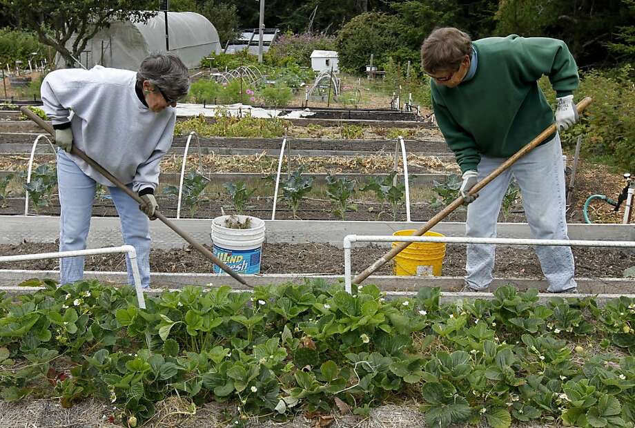 Shirley Mitchell (left) and Roma Robbins work in the lush, productive Posh Squash community garden at Sea Ranch on the Sonoma County coast. Photo: Paul Chinn, The Chronicle