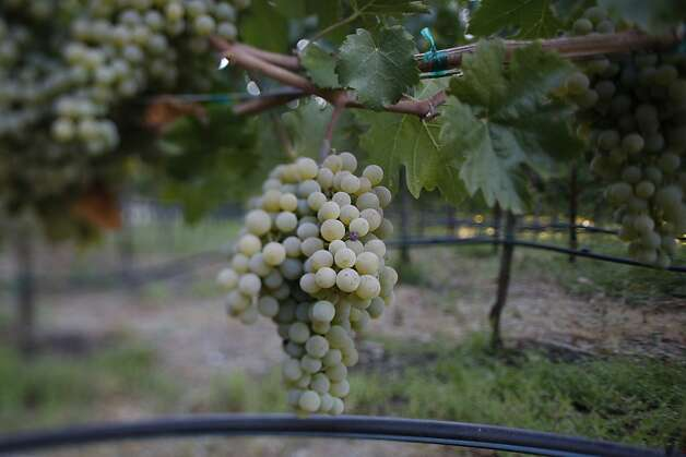 Only 50 cases are made of this unique Austrian varietal white grape, Gruner Veltliner, at von Strasser Winery, near Calistoga  photographed on Friday, August 8, 2008. Photo: Eric Luse, The Chronicle